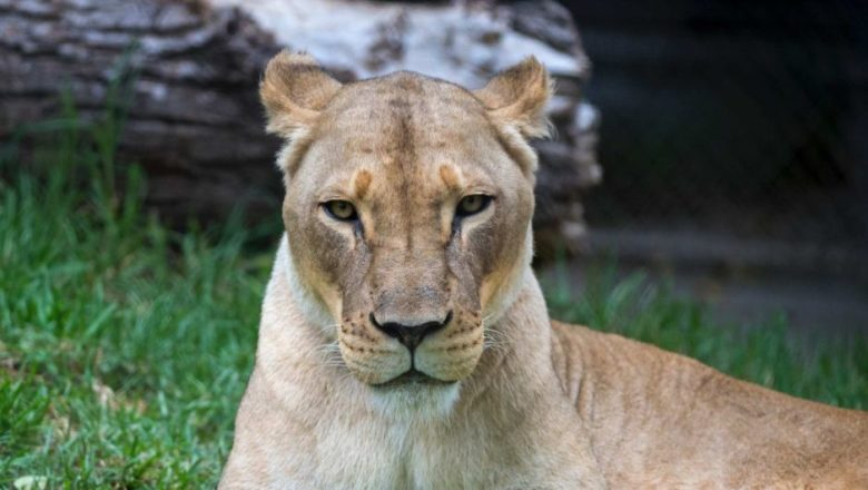 cameroon announce death of lioness in yaounde journal du cameroun