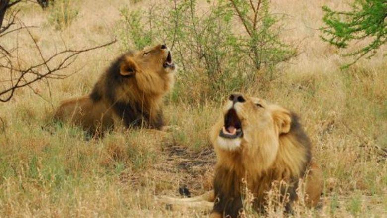 Cameroon: Panic in Ntui as two lions go wandering - Journal du Cameroun